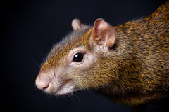 Central American agouti on black Royalty Free Stock Photography