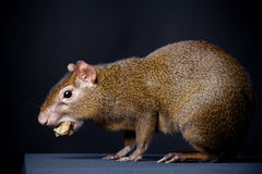 Central American agouti on black Royalty Free Stock Images