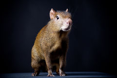 Central American agouti on black Stock Image