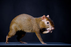 Central American agouti on black Royalty Free Stock Photo