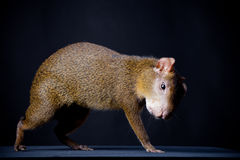 Central American agouti on black Royalty Free Stock Image