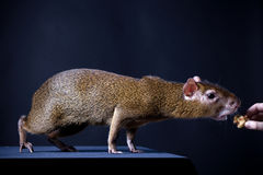 Central American agouti on black Stock Images