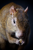 Central American agouti on black Stock Photos