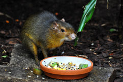 Central American agouti Royalty Free Stock Photo