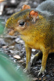 Central American agouti Royalty Free Stock Image