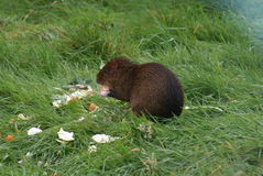 Central American Agouti - Dasyprocta punctata Royalty Free Stock Image