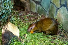 Central American agouti or Dasyprocta punctata Royalty Free Stock Image