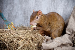 Central American agouti Royalty Free Stock Images