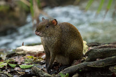 Central American Agouti Dasyprocta punctata. Wildlife animal. Royalty Free Stock Photo