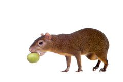 Central American agouti on white Stock Photography