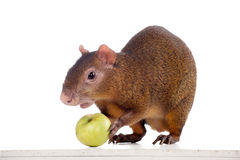 Central American agouti on white Royalty Free Stock Photo
