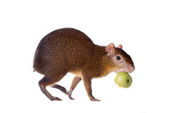 Central American agouti on white Royalty Free Stock Image