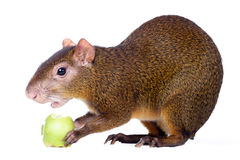 Central American agouti on white Stock Images
