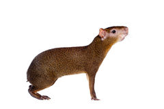 Central American agouti on white Stock Image