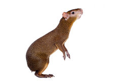 Central American agouti on white Stock Photos