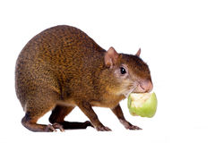 Central American agouti on white Royalty Free Stock Images