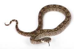 Central American Boa Royalty Free Stock Photography