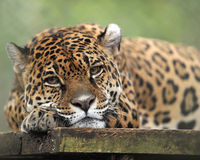 Central american jaguar laying down bored Stock Photography