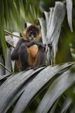 Central American Spider Monkey - Ateles geoffroyi royalty free stock photo