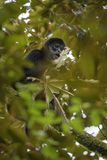 Central American Spider Monkey - Ateles geoffroyi stock images