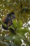 Central American Spider Monkey - Ateles geoffroyi stock photo