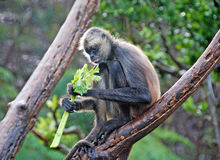 Central American Spider Monkey Royalty Free Stock Photography
