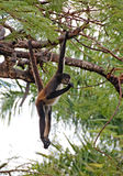 Central American Spider Monkey Stock Image