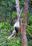 Central American Spider Monkey Stock Images