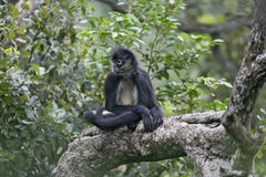 Central American Spider Monkey or Geoffroys spider monkey, Atele Stock Photo