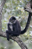 Central American Spider Monkey or Geoffroys spider monkey, Atele Royalty Free Stock Images