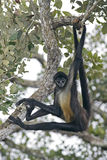 Central American Spider Monkey or Geoffroys spider monkey, Atele Stock Image