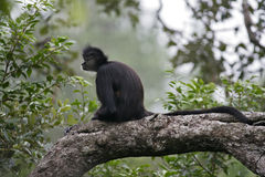 Central American Spider Monkey or Geoffroys spider monkey, Atele Royalty Free Stock Photography