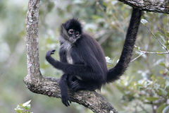 Central American Spider Monkey or Geoffroys spider monkey, Atele Royalty Free Stock Image