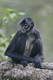 Central American Spider Monkey or Geoffroys spider monkey, Atele Stock Photo