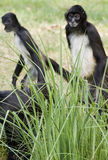 Central American Spider Monkeys Stock Images