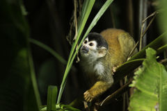 Central American squirrel monkey (Saimiri oerstedii). Central American squirrel monkey in Corcovado National Park, Osa Peninsula, Costa Rica Stock Images
