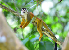 Central american squirrel monkey in tree,costa rica royalty free stock images