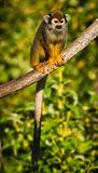 Central American squirrel monkeys Royalty Free Stock Photo