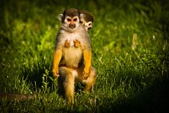 Central American squirrel monkeys Stock Photography