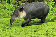 Central american tapir. The central american tapir in water stock photos