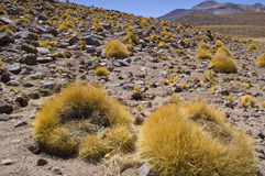 Central Andean Puna. Festuca grassland in Central Andean Puna, Chile Stock Photography