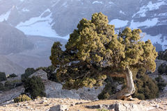 Central asia. Unusual tree on stony ground on background of the mountains Royalty Free Stock Photo