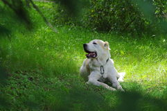 Central asia shepherd dog Stock Photo