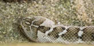Free Central Asian Sand Viper. Royalty Free Stock Image - 143112126