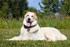 Central Asian Shepherd Dog Royalty Free Stock Photography