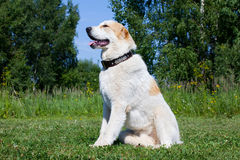 Central Asian Shepherd Dog Stock Images