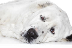 Central Asian Shepherd Dog Stock Image
