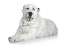 Central Asian Shepherd Dog Stock Images