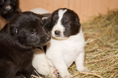 Central Asian Shepherd Dog Stock Photos