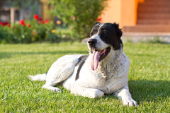 Central Asian Shepherd Dog Royalty Free Stock Photos